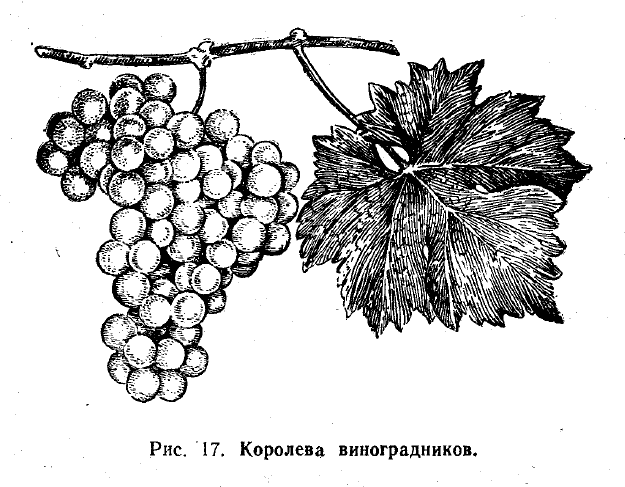 Королева виноградников