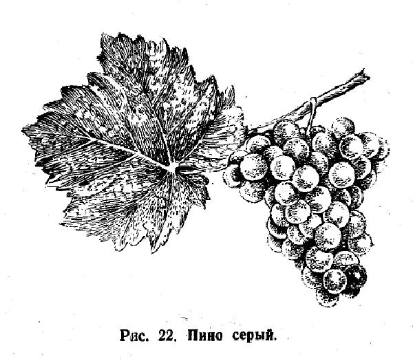 Пино серый