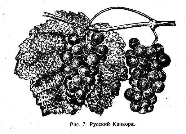 Русский Конкорд