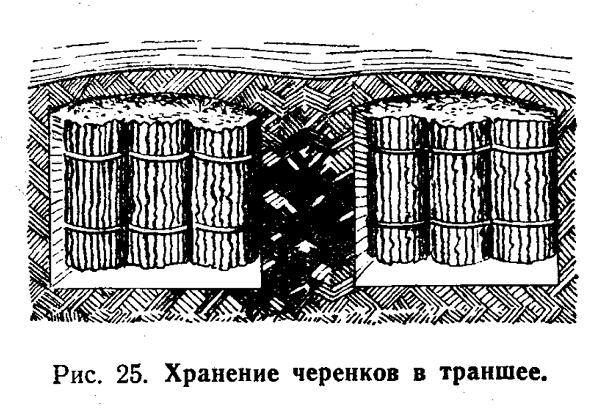 хранение черенков в траншее