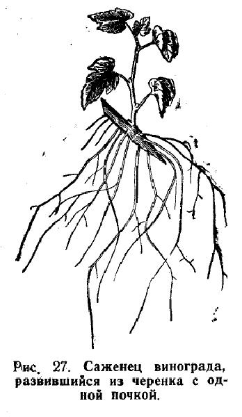 саженец винограда, развитый из черенка с одной почкой
