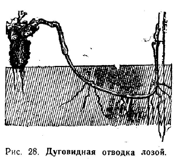 дуговидная отводка лоз