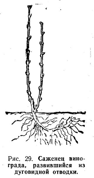 саженец винограда, развившийся из дуговидной отводки